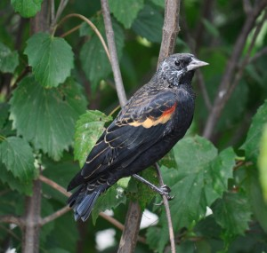 Redwing_Blackbird